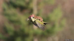 _81366899_woodpeckerweasel